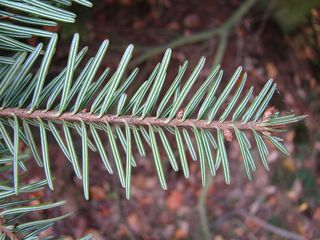 Tanne - Unterseite - Tanne, Nadel, Nadelbaum, Baum, unten, kurz, gestreift, Streifen, weiß, stumpf