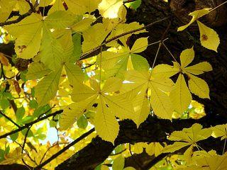 Kastanie - Laub - Kastanie, Laub, Laubbaum, Baum, Herbst, gelb, Blatt, gefingert, gesägt, Blattrand, Herbst, verfärbt, Verfärbung, Laubfärbung
