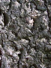 Eiche - Eiche, Laubbaum, Baum, Stamm, Holz, rau, Oberfläche, Rinde, Struktur