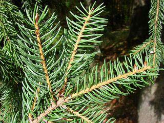 Fichte von unten - Fichte, Gemeine Fichte, Kieferngewächs, Nadelbaum, immergrün, Nadeln, Zweig
