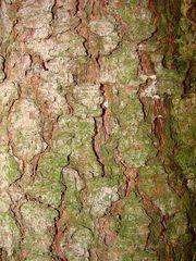 Stamm der Fichte - Fichte, Gemeine Fichte, Kieferngewächs, Nadelbaum, immergrün, Holz, Stamm, Rinde, Oberfläche, Struktur