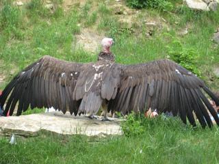 Geier - Greifvögel, Geier, Flügel, Flügelspannweite, Federn, Gefieder, Schwungfeder
