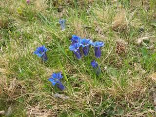 Enzian - Enzian, Blüte, Frühling, Natur, blau, Heilpflanze, Artenschutz, Symbol