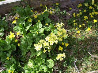 Frühlingsblumen - Schlüsselblume, Himmelschlüssel, Primel, Primelgewächs, zweikeimblättrig, mehrjährig, Rhizom, Frühblüher, gelb