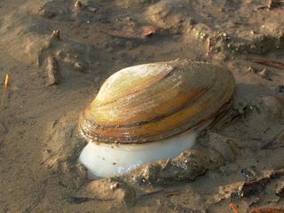 Süßwasserteichmuschel - Muschel, Süßwassermuschel, Teichmuschel, Weiher-Muschel, Flussmuschel, Bodentier, Naturschutz