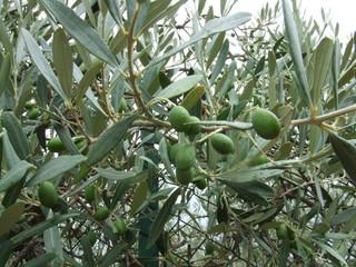 Oliven - Oliven, Olivenbaum, Baum, Blatt, Olive, Frucht, Öl