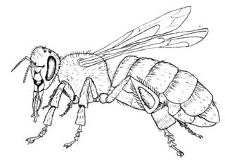 Honigbiene - Biene, Honigbiene, Anlaut B, Hautflügel, Honig, Flügel