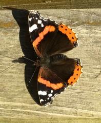 Schmetterling - Schmetterling, Falter, Symmetrie, Admiral, flattern