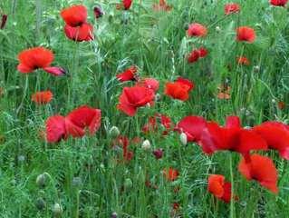 Mohnblumen - Mohn, Klatschmohn, Blüten, Gras