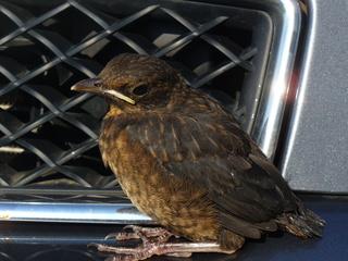 Jungvogel auf Irrwegen - Amsel, Jungvogel, flügge, neugierig, Erkundung, Schreibanlass, Erzählanlass