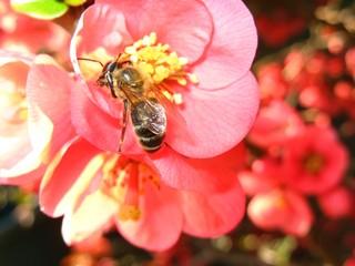 Biene auf Blüte - Biene, Honigbiene, Frühling, Zierquitte, Nektar