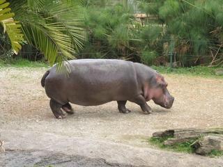 Nilpferd - Nilpferd, Hippo, Tiere, Animals, Flusspferd, Grossflusspferd, Pflanzenfresser, Säugetier