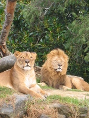 Löwen - Löwe, Lion, Löwenpärchen, Weibchen, Männchen, Katze, Großkatze, Mähne, Landraubtier