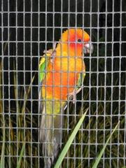 Papagei im Käfig - Papagei, parrot, bunt, Farben, Käfig, Gitter, Australien, Vögel, Tiere, Gefangenschaft, gefangen
