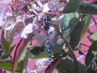 Libelle  - Libelle, Insekt, Flügel