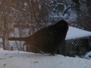 Amsel  - Winter, kalt, Schnee, Vogel, Amsel, Männchen, Schnabel, orange, Federn, schwarz, Futter, Hunger, Vogelfütterung, Winterfütterung