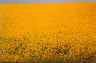 gelb vor blau - Feld, Raps, Meditation, Frühling, gelb, Ölpflanze