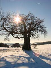 Baum im Winter 2 - Laubbaum, Winter, wachsen, Blätter, Blatt, Stamm, Äste, verzweigt, Silhouette, Struktur, Schnee, Polarisation