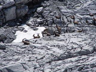 Alpensteinbock (Capra ibex) - Alpensteinbock, Alpen, Herde, Steinbock, Fels, Felsen, Paarhufer(Artiodactyla), Wiederkäuer, Ziegen, Rätikon