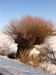 Weiden im Winter #1 - Weide, Laubbaum, kahl, Winter, Schnee, Weiher, kalt, Kopfweide, Fluss, Kalenderbild, Meditation, Weidengewächs, Laubgehölz, Bodenbefestigung, Heilpflanze