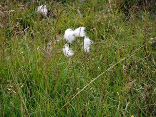 Wollgras - Wollgras, feucht, Gras, Hochmoor, Moor, einkeimblättrig, Süßgras, Sauergras, weich, weiß, zerzaust, ausgefranst, Tundra