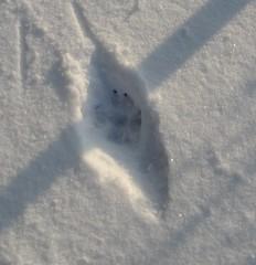 Spuren #5 - Abdruck, Pfotenabdruck, Schnee, Trittsiegel, Hund