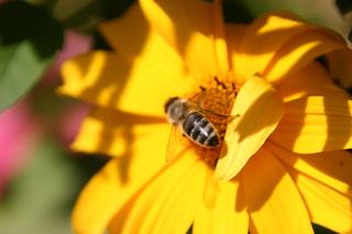 Honigbiene - Biene, Honigbiene, Apis, Garten, Honig