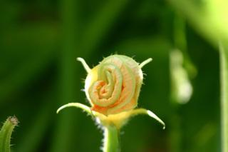 Zucchiniblüte - Zucchiniblüte, weibliche Blüte, Zucchini, Kürbisgewächs, Gartenkürbis, Cucurbita pepo pepo