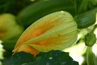 Zucchiniblüte - Zucchiniblüte weiblich, Zucchini, Blüte, Kürbisgewächs, Blüte mit Fruchtansatz, Fruchtgemüse, Gurkenkürbis
