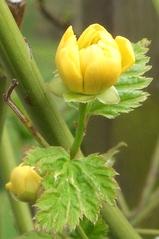 Blütenknospe Ranunkelstrauch - Pflanze, Blütengehölz, Strauch, Hecke, Rosengewächs, Flachwurzler