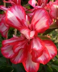 Geranienblüte  rotweiß - Geranie, Pelargonie, Familie der Storchschnabelgewächse, Geranienblüte, rotweiß