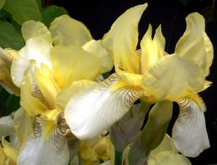 Schwertlilie - Iris variegata, Schwertlilie, Schwertliliengewächs, mehrjährig, winterhart, Lilie