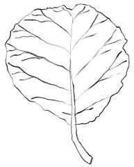 Blatt - Blatt, Pflanzenteil, Laub, Blattrippe, Blattrand, Laub, leaf, Anlaut B