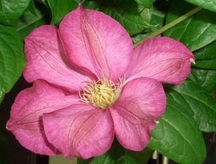 Clematis - Waldrebe, Kletterpflanze, mehrjährig, Hahnenfußgewächs, pink, Clematis, Hybride