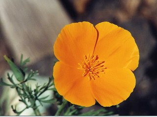 Kalifornischer Mohn - California Poppy - Mohn, Poppy, California, Kalifornien, Blüte, Mohn, orange