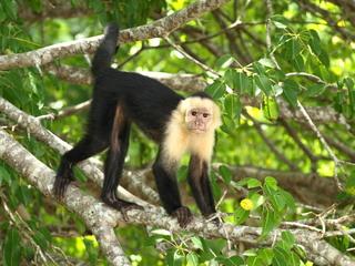 Kapuzineraffe - Biologie, Geographie, Affe, Zentralamerika, Säugetier, Costa Rica, Kapuzineraffe, Primate, Neuweltaffe