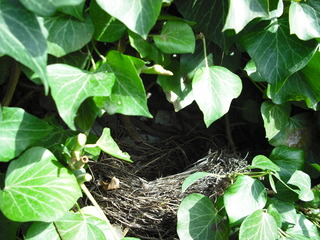 Amselnest - leer - Nest, Amsel, Tarnung, versteckt, Bau, Brutstätte