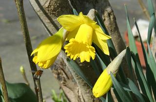 Narzissen - Narzisse, Frühblüher, Frühling, Zwiebelgewächs, blühen, Blüte, gelb, Osterglocke, Garten