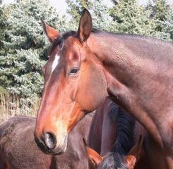 Hannoveraner - Pferd, Haustier, Nutztier, reiten, Hobby, braun, trittsicher, Huf, Einhufer, Warmblutpferd, Zuchtpferd, Dressurpferd, Springpferd