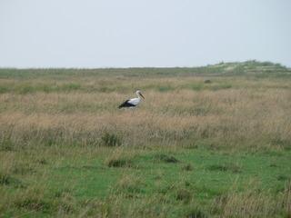 Storch - Storch, Deich, Salzwiese, Zugvogel, Federn, weiß, schwarz, Schnabel, klappern, Wiese, schreiten, gehen