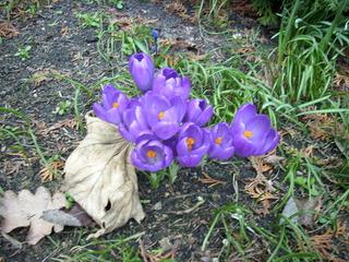 Der Frühling kommt... - Frühling, Frühjahr, Garten, Frühblüher, Krokus, lila, Blüte, Zwiebelgewächs, Speicherorgan, Herbstblatt, kalt