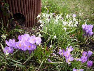 Es wird wärmer..... - Frühling, Frühjahr, Garten, Frühblüher, Krokus, lila, Blüte, Zwiebelgewächs, Speicherorgan, weiß, Schneeglöckchen