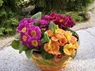 Primeln - Frühling, Frühblüher, Sonne, Frühjahr, Schale, Primel, Blüte, bunt, pink, rot, orange, grün, Blatt, mehrjährig, krautig, Heilpflanze, Primelgewächs, Bedecktsamer, Zierpflanze