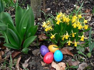 Ostereier vor Narzissen - Ostern, Frühling, Osterfest, Ostereier, bunt, Narzissen, Frühblüher, rot, gelb, lila, türkis