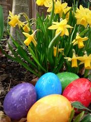 Fünf Ostereier vor Narzissen - Ostern, Frühling, Frühblüher, Narzissen, Osterglocken, Ostereier, bunt, fünf, gelb, lila, türkis, rot, grün