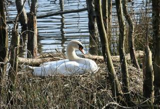 Schwan - bruetend - Schwan, Wasservogel, Höckerschwan, Wasser, Nest, See, Ufer, Tribus, Entenvogel