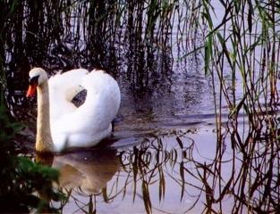 Schwan - Schwan, Wasservogel, Höckerschwan, Wasser, Schnabel, schwimmen, weiß, spiegeln, Spiegelung, Vogel, See, Schilf, Tribus, Entenvogel