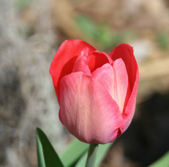 Tulpenblüte - Frühling, Frühjahr, Frühblüher, Tulpe, Blüte, Zwiebelgewächs, Tulipa, Liliengewächs, Zwiebelblume, Schnittblume, Blüte, rot
