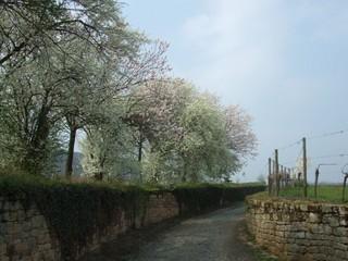 Baumblüte im Frühling - Baum, Blüte, Frühling, blühen, Mandel, Mandelbaum