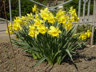 Narzissen / Daffodils - Narzisse, daffodils, gelb, yellow, flowers, Blumen, Frühblüher, Frühling, Zwiebelgewächs, blühen, Blüte, gelb, Osterglocke, Garten, Märzenbecher